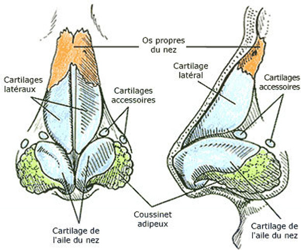 Du cartilage partir du nez des patients cultiv et for Interieur du nez